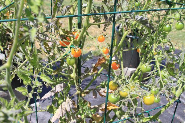 wpid-SunGold-2-2010-08-12-13-36.jpg