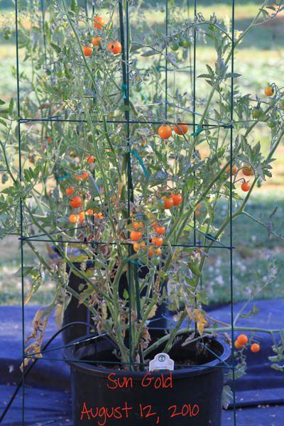 wpid-SunGold-2010-08-12-13-36.jpg