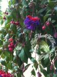 wpid-Fuchsia-2011-06-26-12-30.jpg