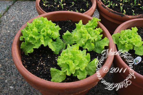 wpid-Lettuce-2011-07-14-13-15.jpg